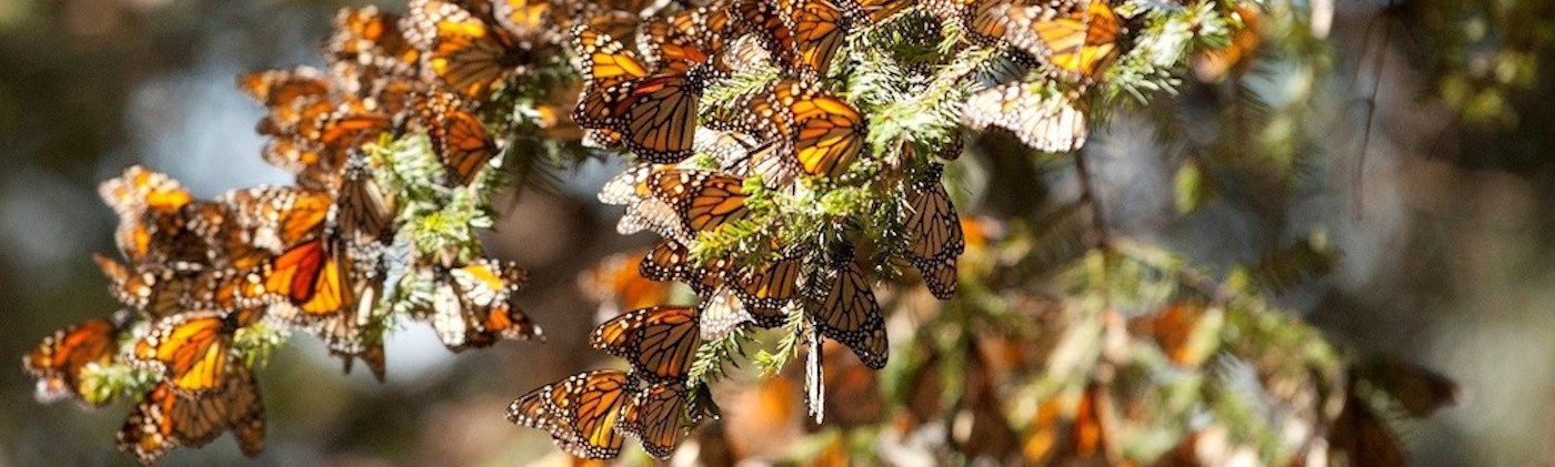 Monarchs in Mexico.