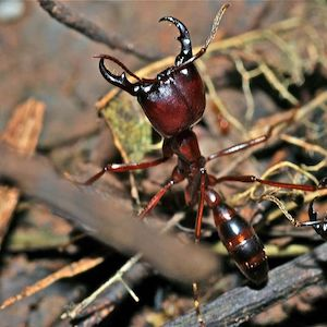 Army Ant, Peruvian Amazon, Insect