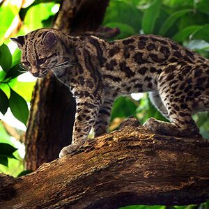 Margay, Cat, Jungle, Brazil