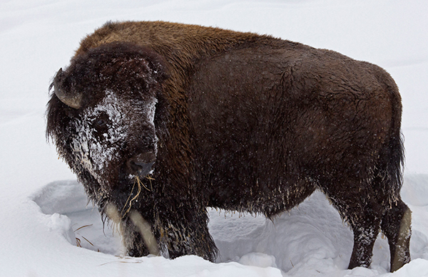The bison of Yellowstone exhibit behaviors much like that of their ancient ancestors, congregating during the breeding season to compete for mates and exploring new areas for habitat use. ©Candice Gaukel Andrews
