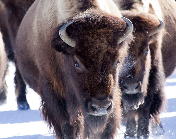 Yellowstone National Park is the only place in the United States where bison (Bison bison) have lived continuously since prehistoric times.