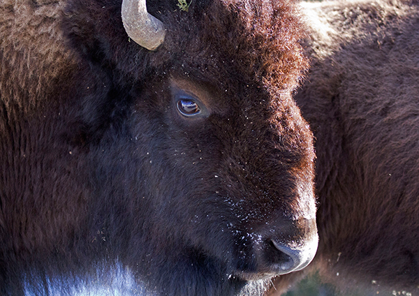 The bison in Yellowstone comprise the nation's largest such population on public land and are among the few bison herds that have not been hybridized through interbreeding with cattle. ©Candice Gaukel Andrews