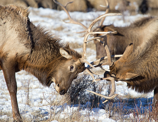 The soft clacking sound you hear on the wind is that of elk, jousting antler to antler. ©Candice Gaukel Andrews