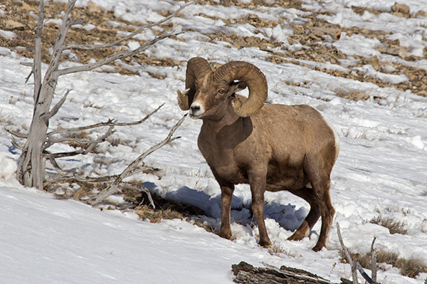About 10 to 13 bands of bighorn sheep occupy steep terrain in the upper Yellowstone River drainage. ©Candice Gaukel Andrews