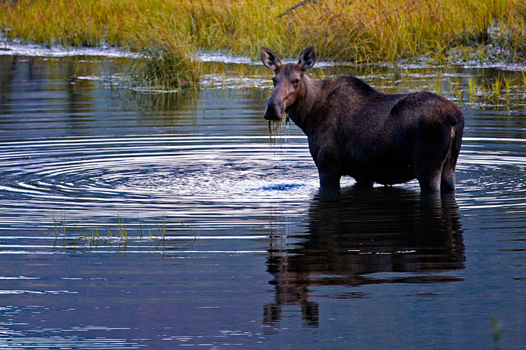 Moose in the water in Yellowstone.