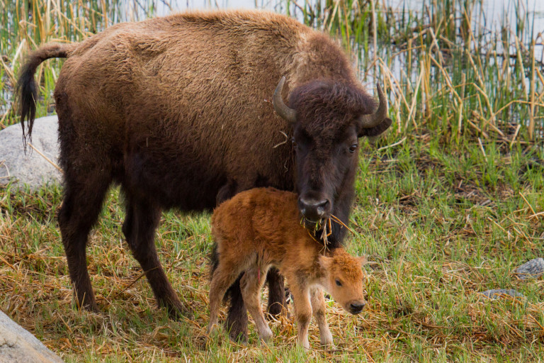 A mother bison and her calf munch on grass in Yellowstone.