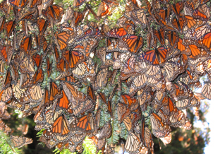 Monarch buttefly colony in Mexico
