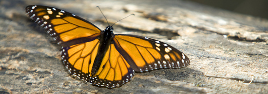 Monarch butterfly spreading its wings
