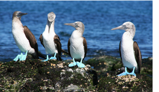 See blue-footed boobies in the Galapagos