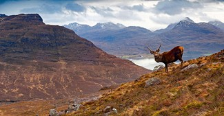 Red Deer in the Scottish Highlands