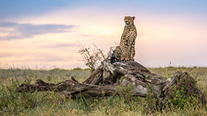 Cheetah Sunset