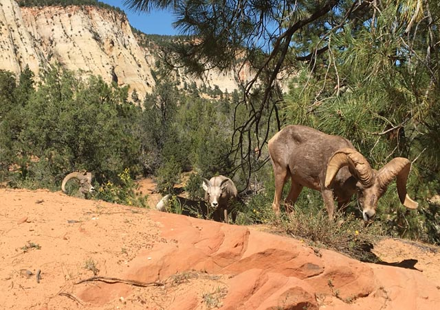 Big horn sheep in Zion National Park, Utah.