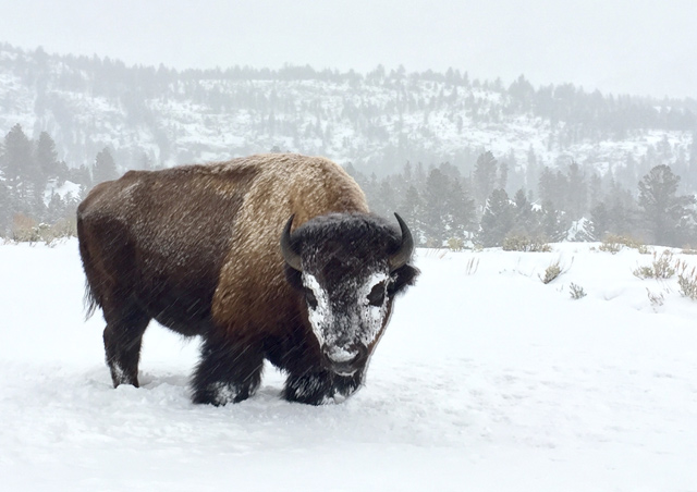 Snowy bison the in winter in Yellowstone National Park. Photo credit: Paul Brown
