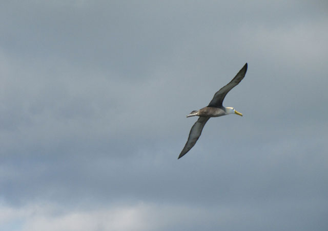 Waved albatross. This was a real treat to see, as we weren't sure the albatross would even be there yet.