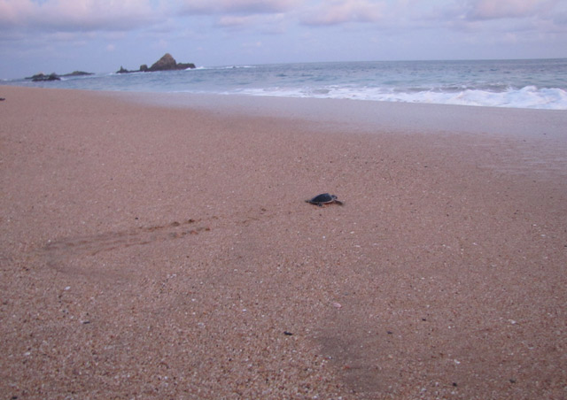 Baby Olive Ridley sea turtle making its way to the ocean on NatHab's Mexico's Sea Turtle Odyssey. Our group was fortunate enough to release some hatchlings with the help of the National Mexican Turtle Center at Mazunte Beach.