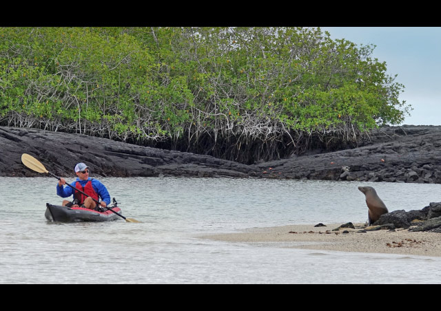 Passing a sea lion in a mangrove while on Nat Hab's Galapagos Hiking & Kayaking Adventure.