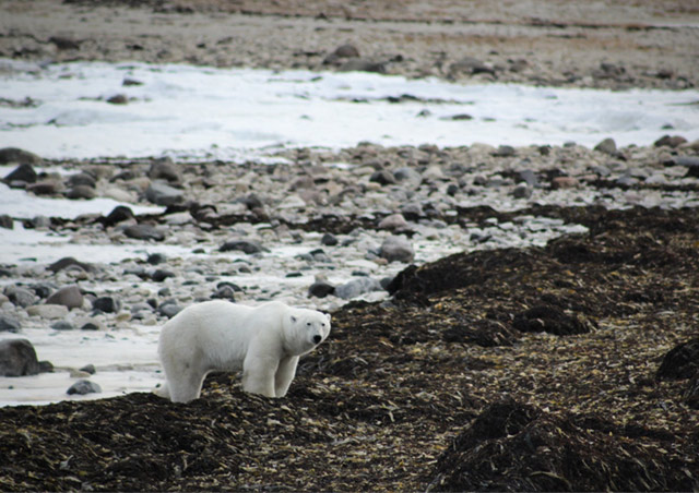 Polar bear waiting for the ice to freeze on the shores of the Hudson Bay in Churchill, Manitoba.