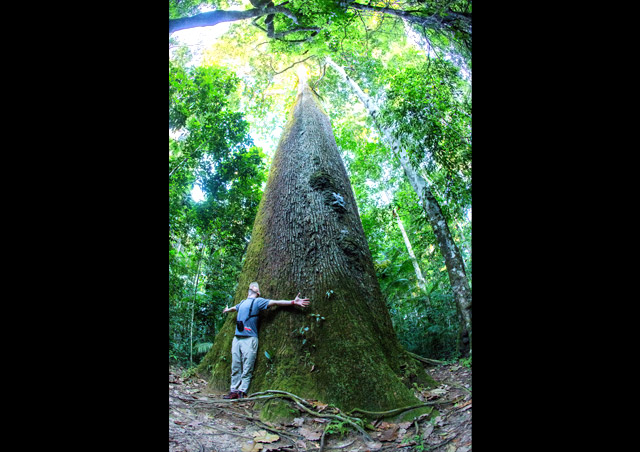 Comparing my wingspan to a Brazil nut tree in the Brazilian Amazon in May of 2015.