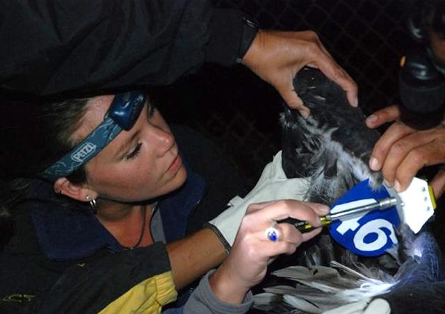 Corrin attaching a GPS transmitter to a Critically Endangered California Condor in Baja.