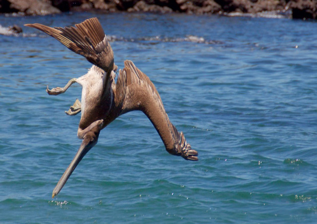 This was one of a few dozen Galapagos brown pelicans we saw one day diving for their lunch.