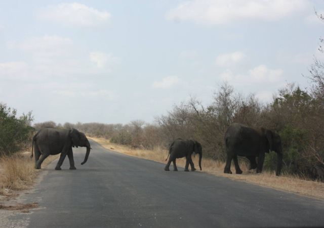 Elephant crossing in Kruger National Park, South Africa