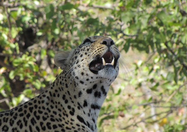 My 2012 Southern Africa safari was epic! We spotted this lovely lady in the Linyanti region of Botswana.