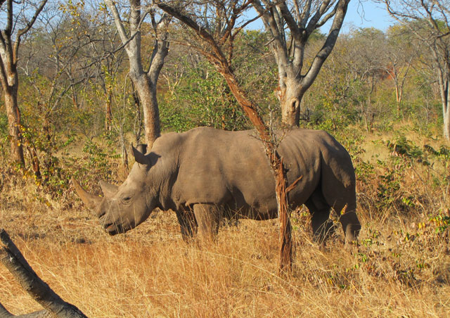 Our visit to Zambia's Mosi-oa-Tunya National Park near Victoria Falls, gave us the chance to see white rhinos.