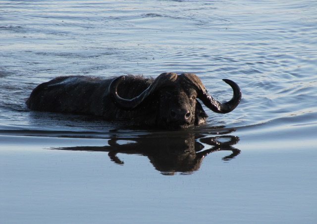 The Cape buffalo is menacing - in and out of the water.