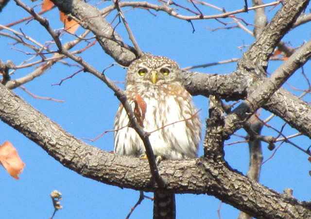 The Delta is also one of the best birding places on earth. We were lucky to spot a pearl spotted owlet...