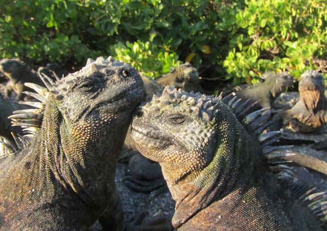 Marine iguanas on Fernandina, Galapagos.