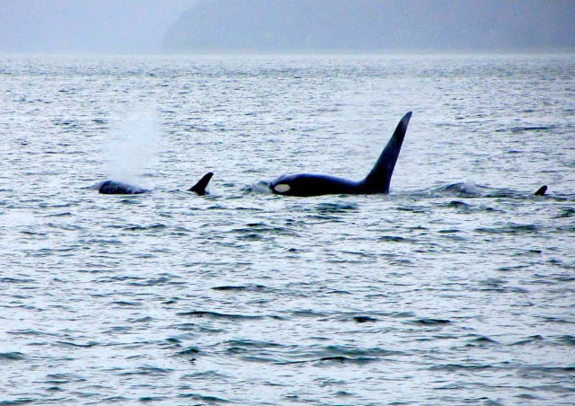 Watching a pod of Orca's outside of Juneau, Alaska.