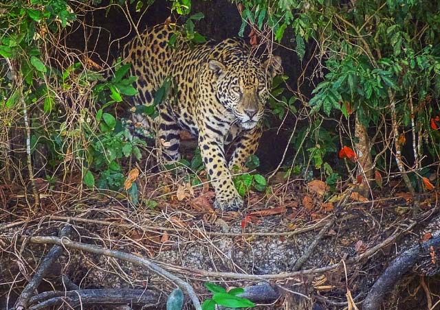Watching a jaguar hunt for caiman in the Brazilian Pantanal.