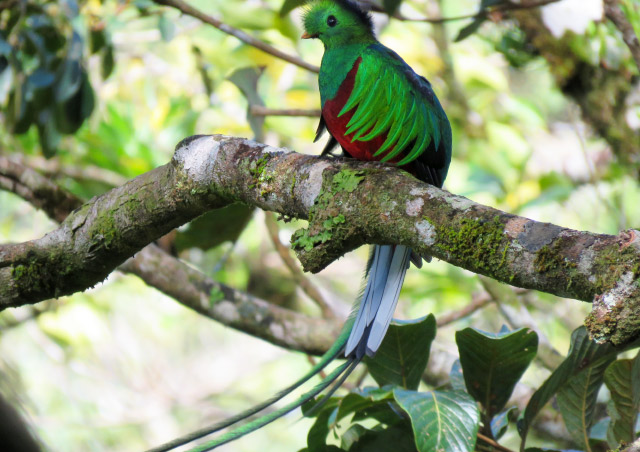 We spotted this resplendent quetzal in the mountains of the Monteverde Cloud forest in Costa Rica. It put on a show for the whole group.