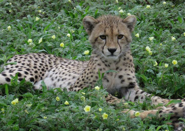Cheetah cub viewed during Botswana's green season