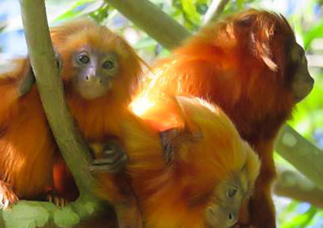 Golden lion tamarins, Brazil