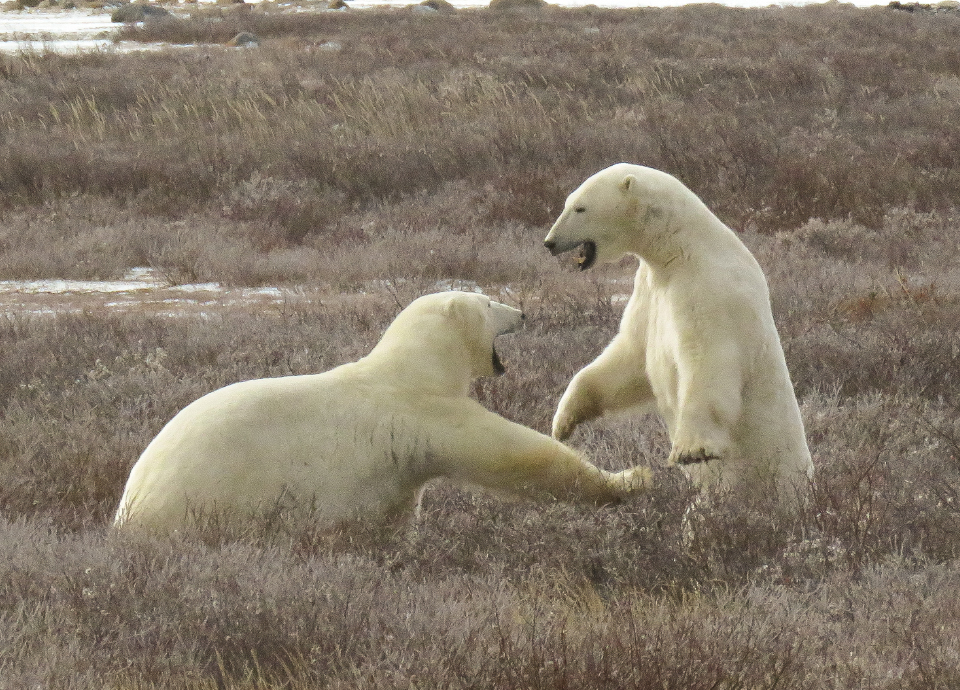 Young male polar bears playing on the tundra in Churchill Canada during Nat Hab's Classic Polar Bear Adventure.