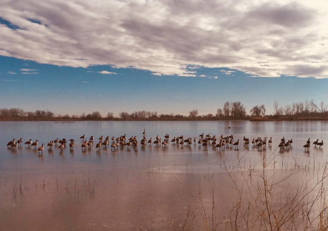 Birds crossing on a frozen lake near my home. Pella Crossing, Colorado.