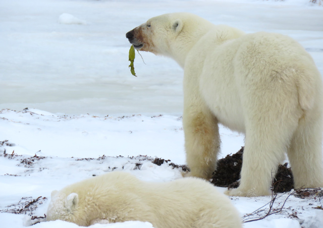 I was in awe observing this mom and cub search for food on the tundra.