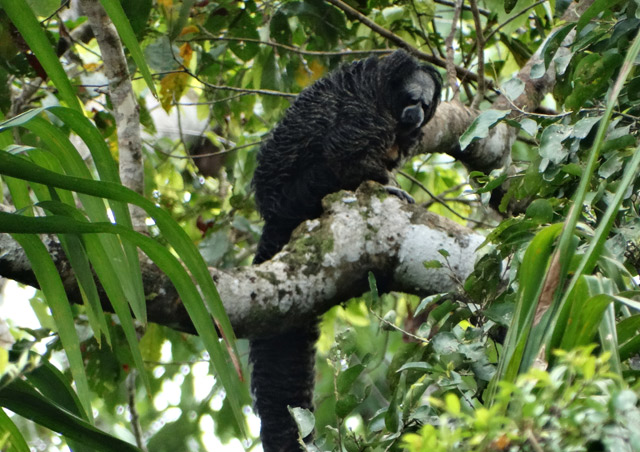Great Amazon River Cruise: One of my favorite sightings during this adventure was a group of monk saki monkeys – one of 8 different primate species we spotted.