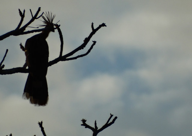 Great Amazon River Cruise: We recorded over 130 bird species, including the rare and primitive-looking hoatzin. I love this silhouette of one as the sun was starting to go down.