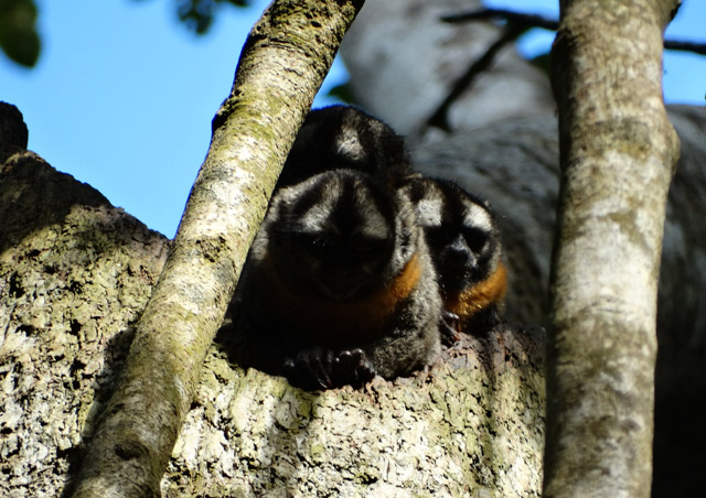 Great Amazon River Cruise: These owl monkeys were hard to spot, and actually taking a nap when we saw them! It made it easier for us to catch a glimpse and fill our memory cards with photos.