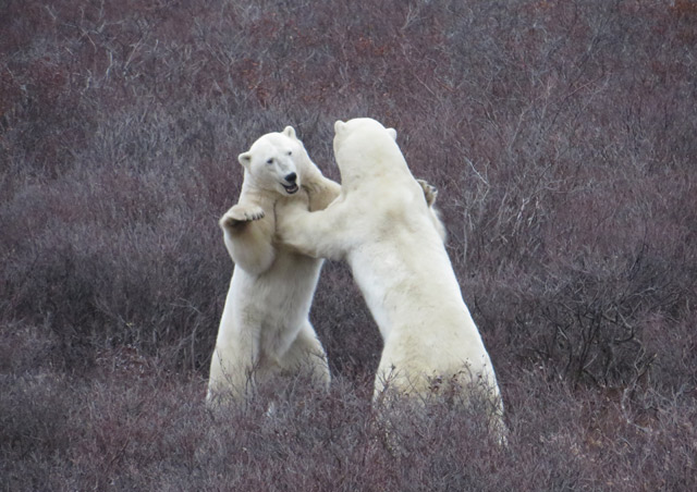 Classic Polar Bear Adventure: Our group's first polar bear encounter on the tundra was a phenomenal one – we watched these two males spar for 20 minutes or so, and there was even a third male who entered the mix every now and then!