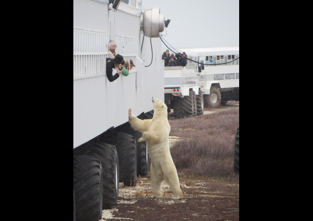 Classic Polar Bear Adventure: This bear was getting pretty curious about our Tundra Lodge – good thing the windows are a good 14 feet or so off the ground!