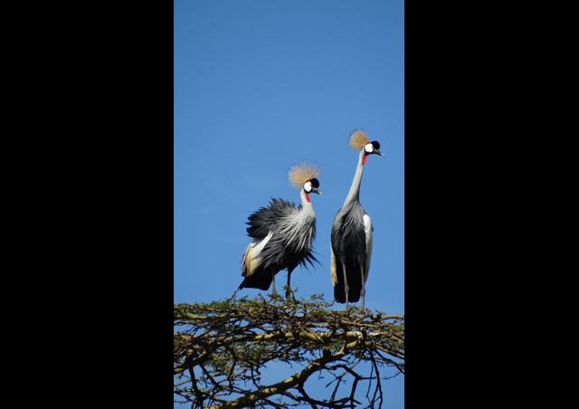 Kenya Site Inspection: Grey-crowned cranes in Lewa – what an absolutely stunning bird.