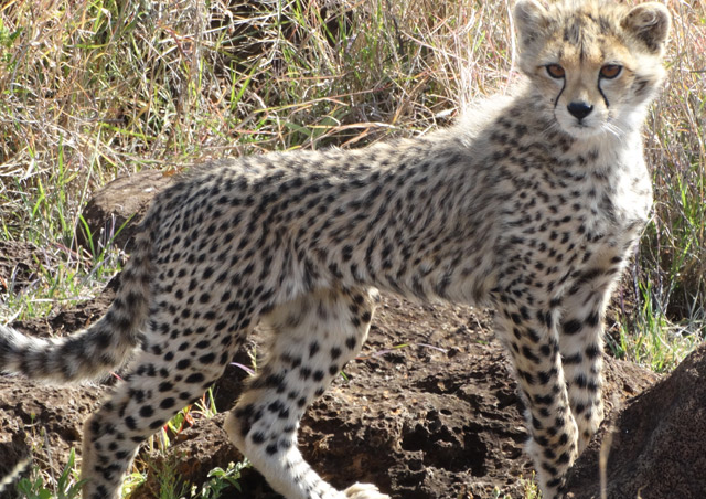 Kenya Site Inspection: I had an amazing experience with a cheetah mother and cub, whom we watched for a good 30 minutes before they wandered off into the long grass of the savannah.
