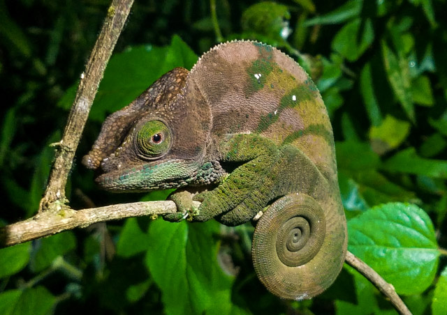 A Parson's chameleon poses for a profile shot on a night walk in Ranomafana National Park, Madagascar.