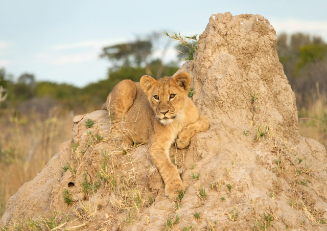 One of six lion cubs we watched relaxing on a termite mound with two lionesses in Hwange National Park, Zimbabwe.