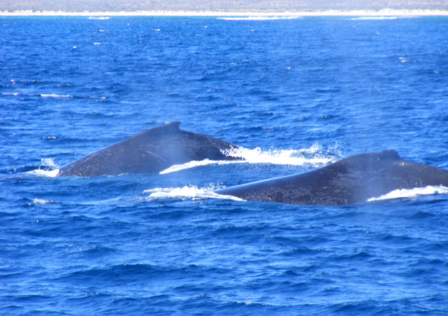 Humpback whales spotted off the coast of Exmouth, Australia.