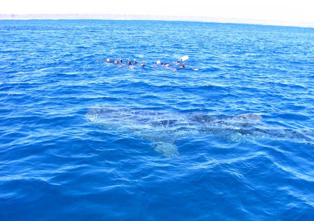 Check this off the bucket list! Swimming with a whale shark in Australia.