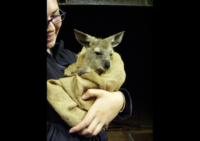 Feeding a rescued joey at a ranch in the Australian outback.